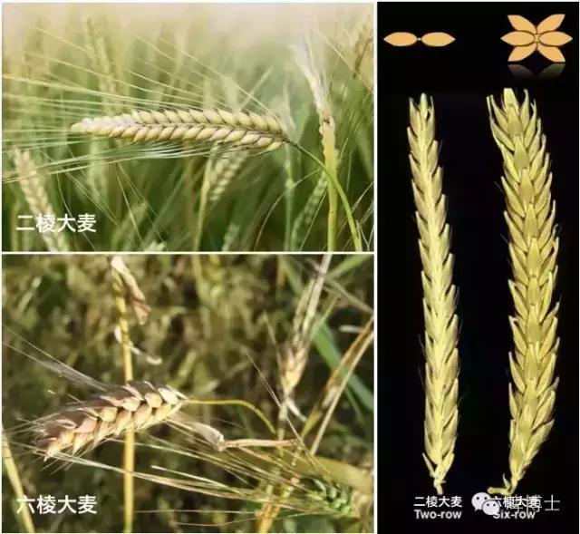 《啤酒植物学》第三课:大麦101