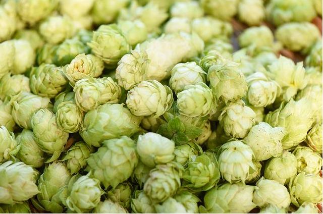 揭秘精酿啤酒个性的印记:啤酒花