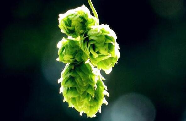 精酿啤酒工艺:加入啤酒花的时间点,如同整场戏的最关键!
